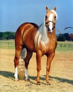 Blackhorse-stránka o koních - Plemena koní - Quarter horse