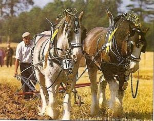 Quarter horse (honácký kůň, QH) :: Vse-o-konich